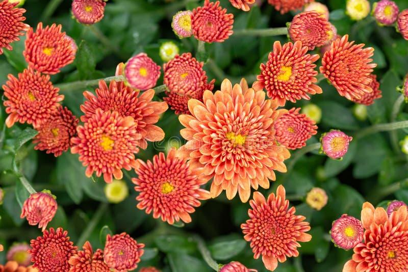Primo piano del crisantemo arancio rosso naturale immagine stock
