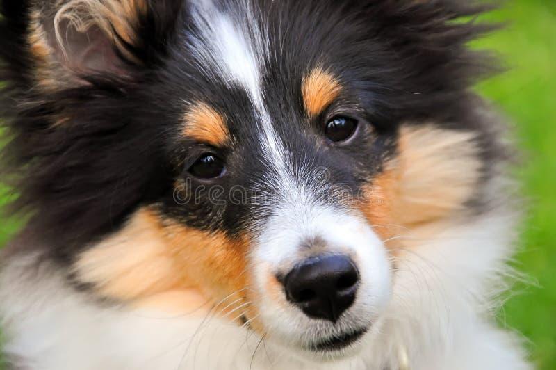 Primo piano del cucciolo del cane pastore di Shetland immagini stock