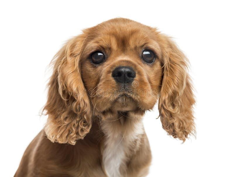 Primo piano del cucciolo sprezzante dello Spaniel di re Charles fotografia stock