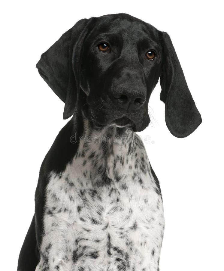 Primo piano del cucciolo tedesco dell'indicatore dai capelli corti immagini stock libere da diritti