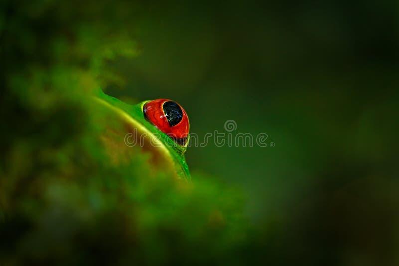 Primo piano del dettaglio dell'occhio rosso della rana, nascosto in vegetazione verde Rana di albero con gli occhi rossi, callidr fotografia stock libera da diritti