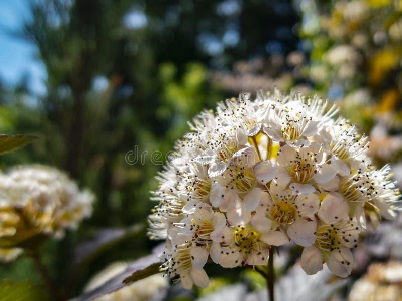Primo piano del diabolo o di Ninebark di opulifolius di Physocarpus dei fiori bianchi con le foglie porpora su fondo blu scuro fotografie stock