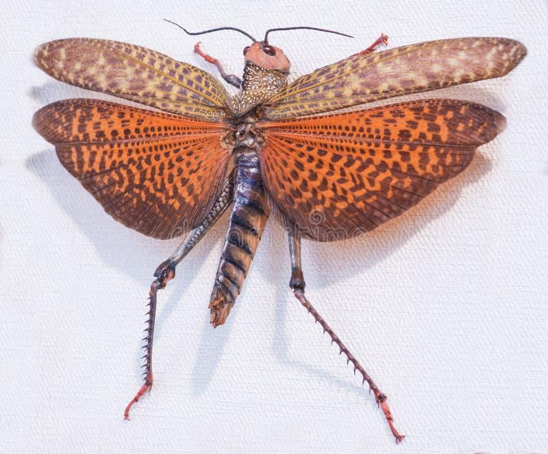 Primo piano del dux di Topidacris della locusta, Tingo Maria, Perù, del sud fotografia stock