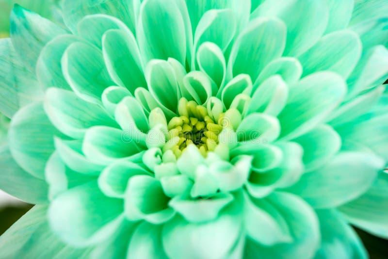 Primo piano del fiore del crisantemo immagine stock for Piani principali del primo piano