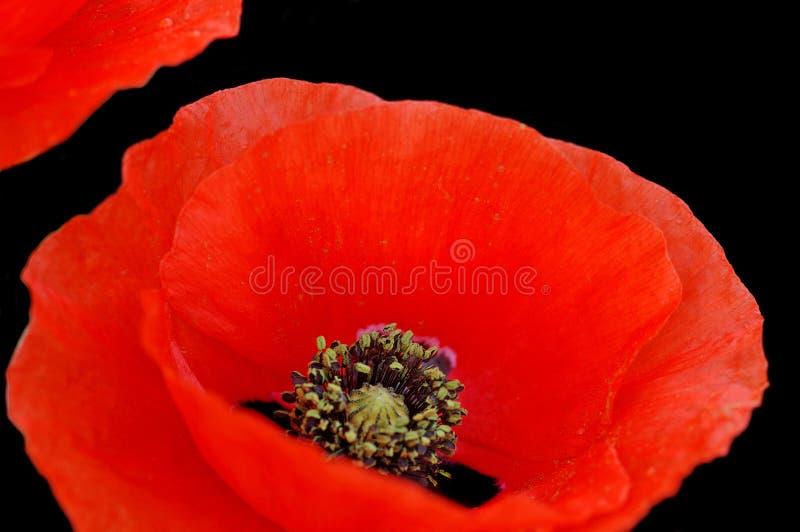 Primo piano del fiore del papavero fotografie stock libere da diritti