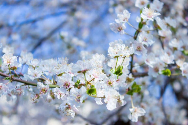 Primo piano del fiore dell'albero di albicocca, fondo floreale stagionale della natura fotografia stock libera da diritti