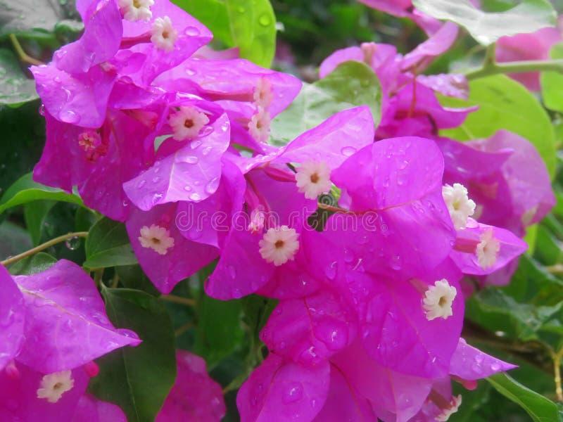 Primo piano del fiore della buganvillea immagine stock
