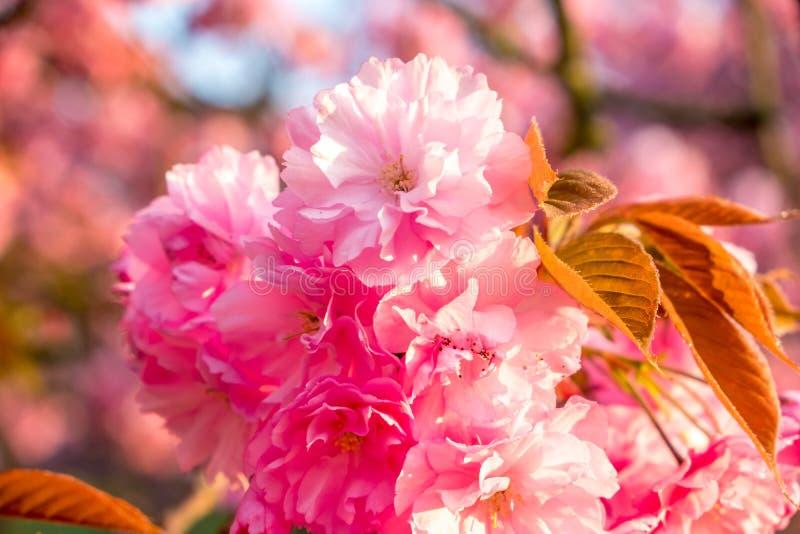 Primo piano del fiore della ciliegia su alba della molla fotografia stock libera da diritti