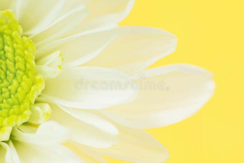 Primo piano del fiore della margherita bianca su colore giallo immagine stock