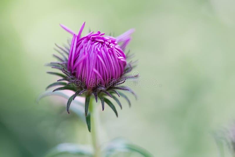 Primo piano del fiore della margherita blu Scena di ora legale con i petali freschi della viola della pianta selvatica immagine stock