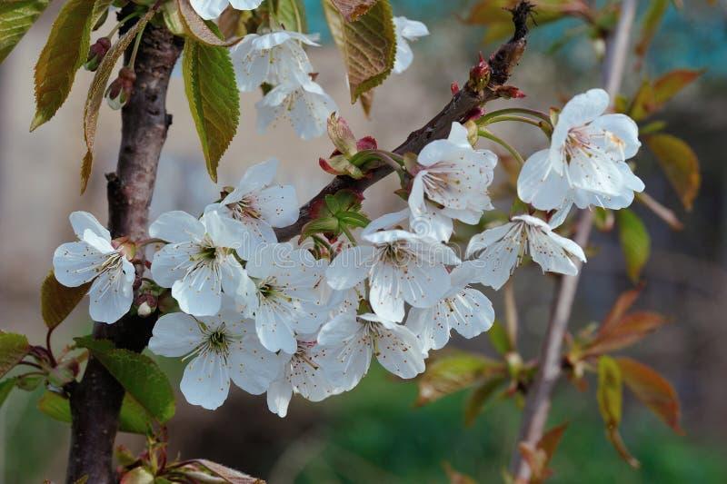 Primo piano del fiore della pera su pianta vaga immagini stock libere da diritti