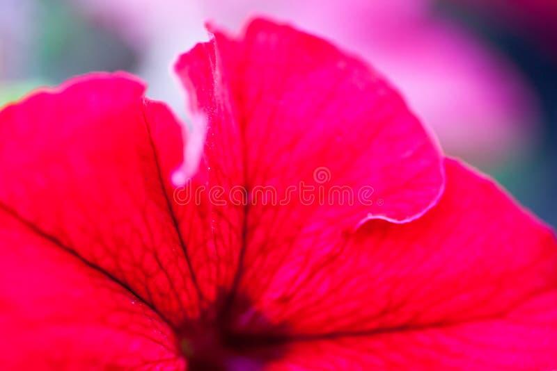 Primo piano del fiore della petunia fotografie stock libere da diritti