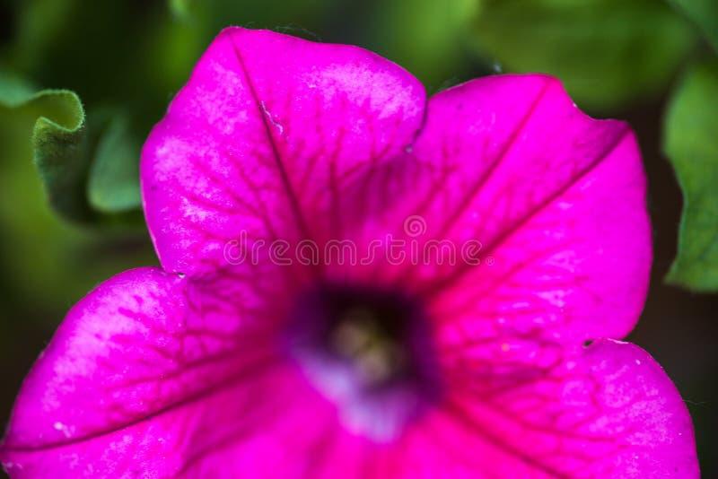 Primo piano del fiore della petunia immagine stock