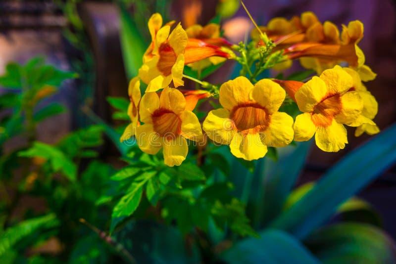 Primo piano del fiore della vite del cespuglio della tromba fotografia stock