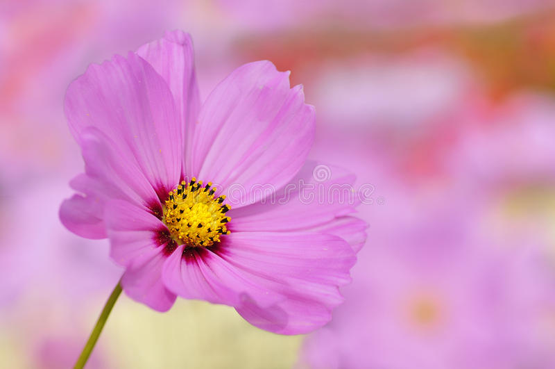 Primo piano del fiore dentellare dell'universo fotografia stock libera da diritti