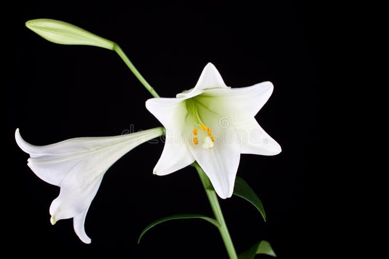 Primo piano del fiore di Lilly fotografia stock