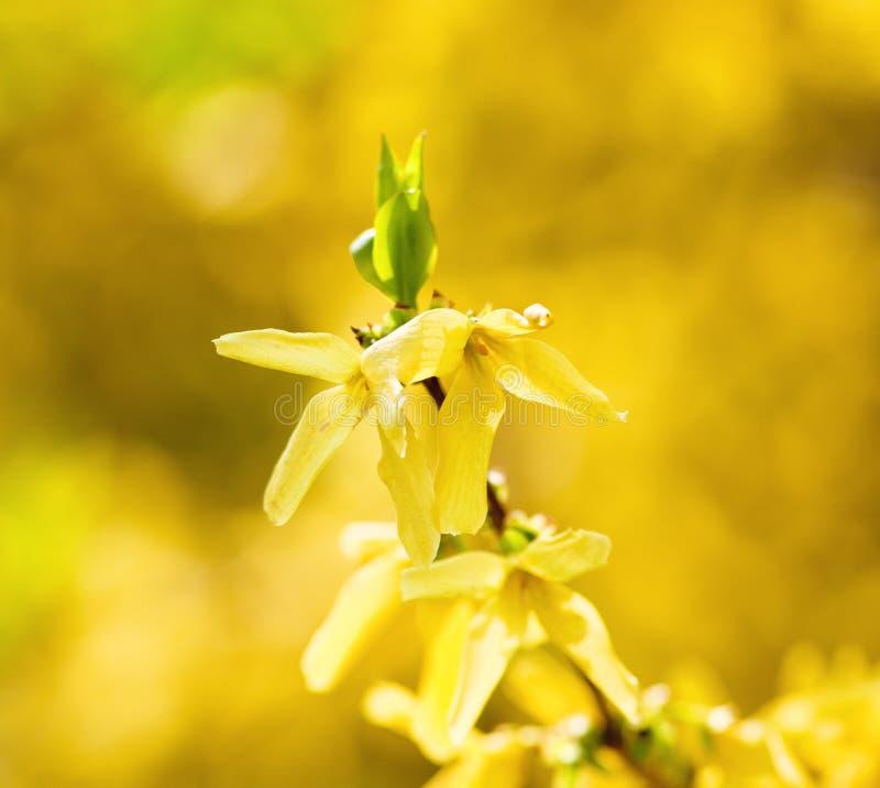 Primo piano del fiore di maggiociondolo al fiore fotografie stock