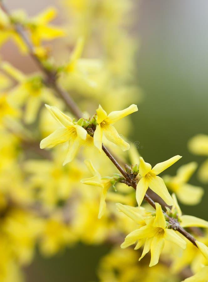 Primo piano del fiore di maggiociondolo al fiore fotografie stock libere da diritti