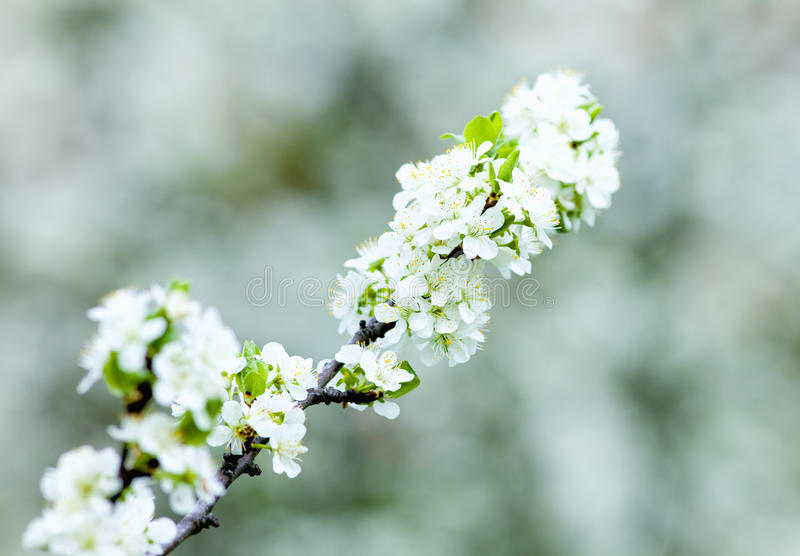 Primo piano del fiore di maggiociondolo al fiore immagini stock libere da diritti