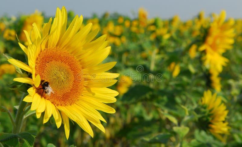 Primo piano del fiore di Sun fotografia stock libera da diritti