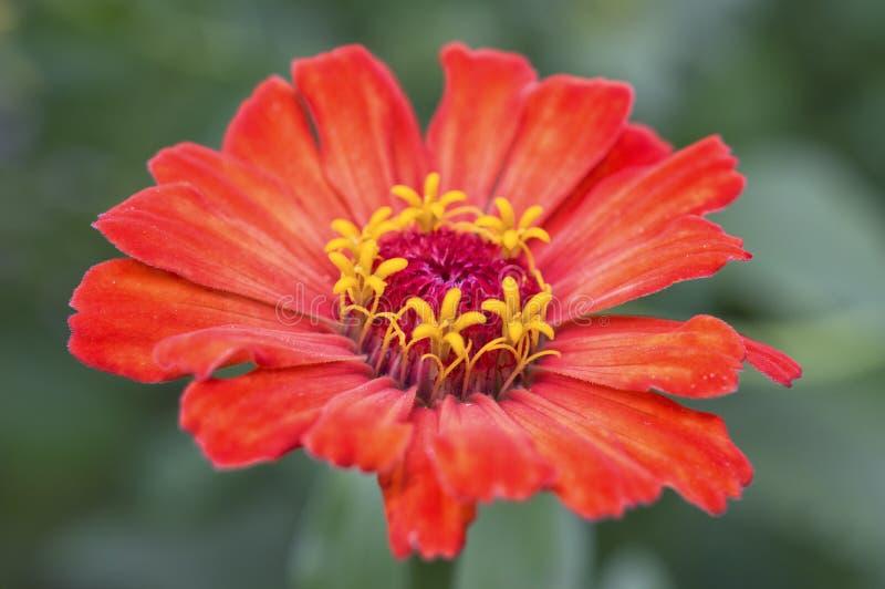 Primo piano del fiore di zinnia fotografia stock - Aster pianta ...