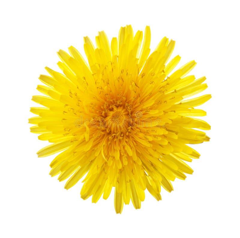Primo piano del fiore giallo del dente di leone isolato su fondo bianco fotografia stock libera da diritti