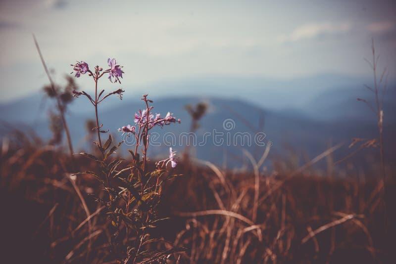 Primo piano del fiore Montagne e nuvole nei precedenti Fondo rustico lunatico Estate nelle montagne fotografia stock