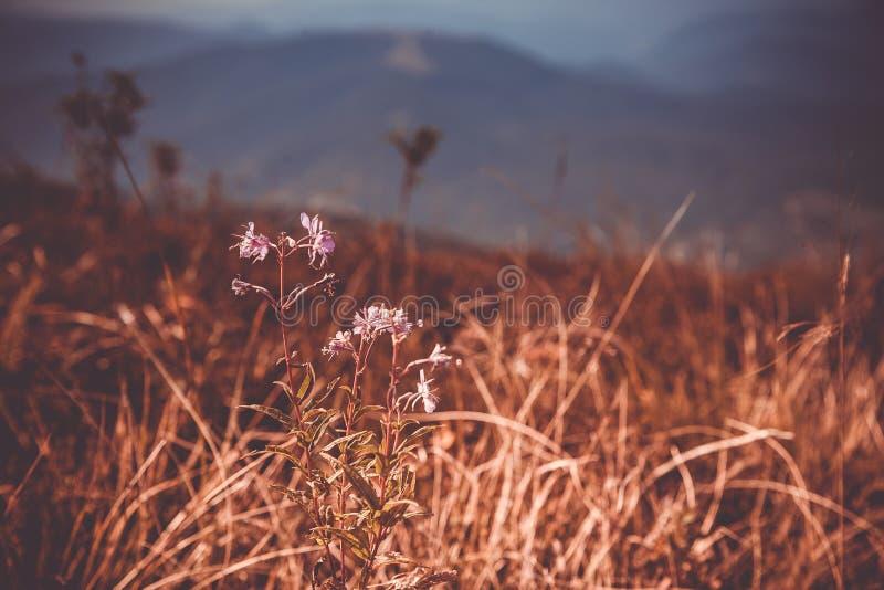 Primo piano del fiore Montagne e nuvole nei precedenti Fondo rustico lunatico Estate nelle montagne immagini stock libere da diritti