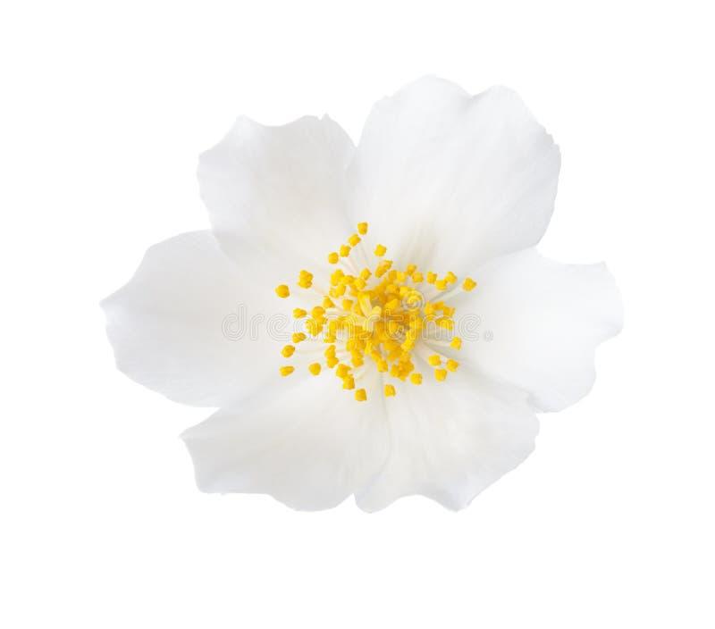Primo piano del fiore Philadelphus del gelsomino isolato su fondo bianco immagine stock