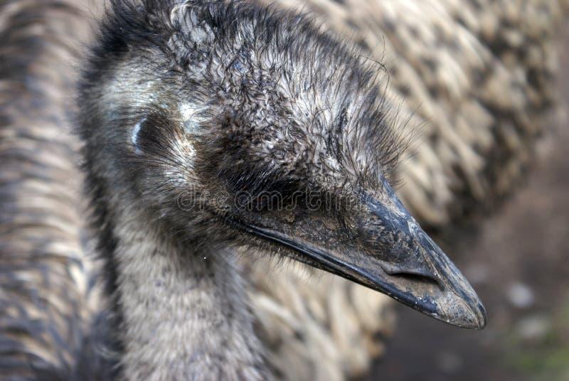 Primo piano del fronte dell'emù fotografia stock libera da diritti