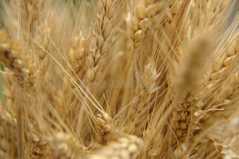 Primo piano del grano immagini stock libere da diritti