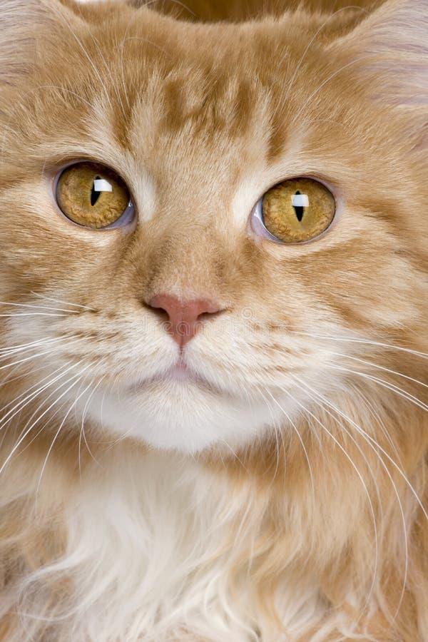Primo piano del gattino del Coon della Maine fotografia stock libera da diritti