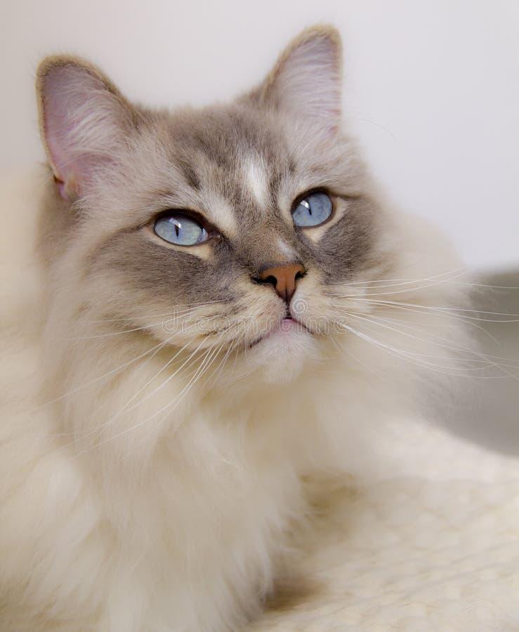 Primo piano del gatto degli occhi azzurri Colore Bianco-grigio fumoso del gatto fotografia stock