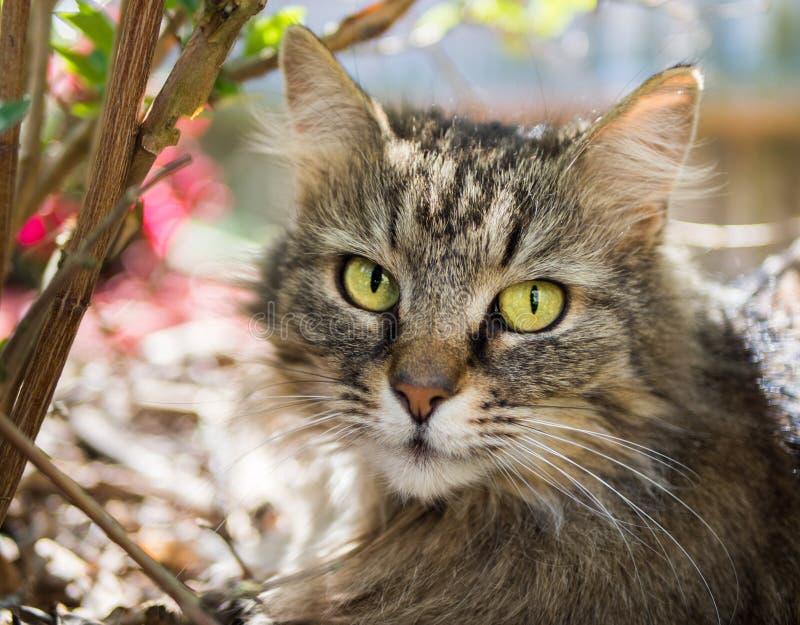 Primo piano del gatto di Coon della Maine fotografie stock