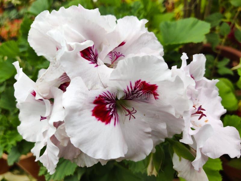 Primo piano del geranio, un fiore bianco di fioritura con il centro magenta fotografia stock