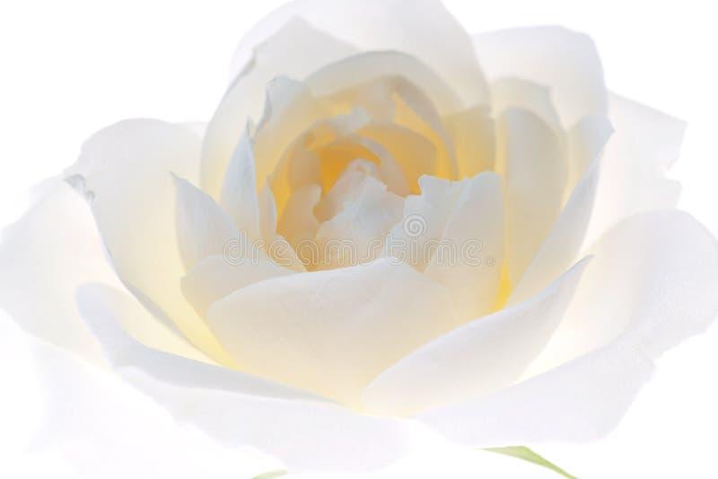 Primo piano del germoglio della rosa di bianco isolato su fondo bianco immagine stock libera da diritti