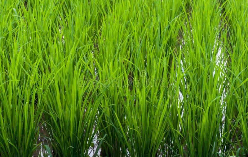 Primo piano del giacimento del riso del gelsomino fotografie stock libere da diritti