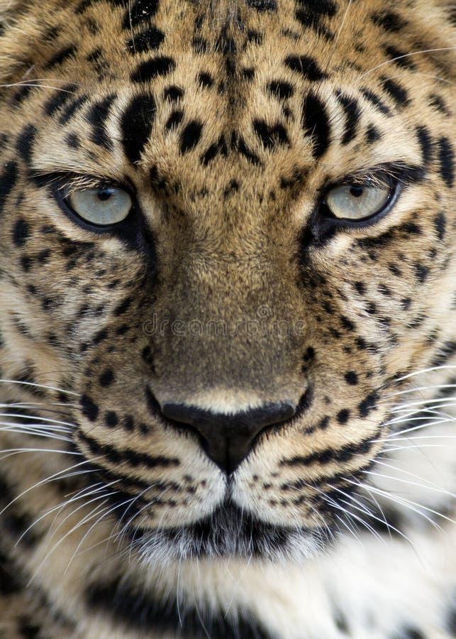 Primo piano del leopardo dell'Amur fotografia stock