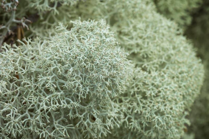 Primo piano del lichene di renna Stella-fornito di punta fotografia stock