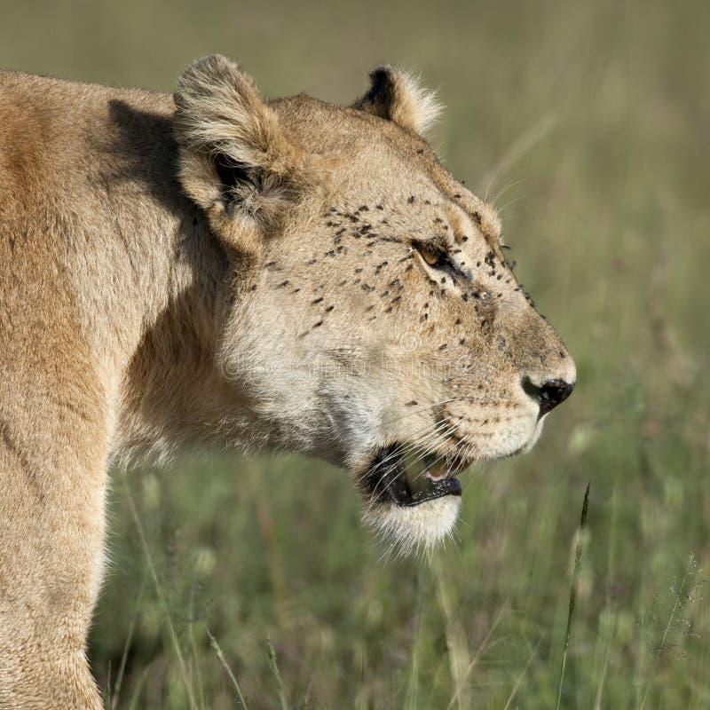Primo piano del Lioness al Serengeti immagini stock