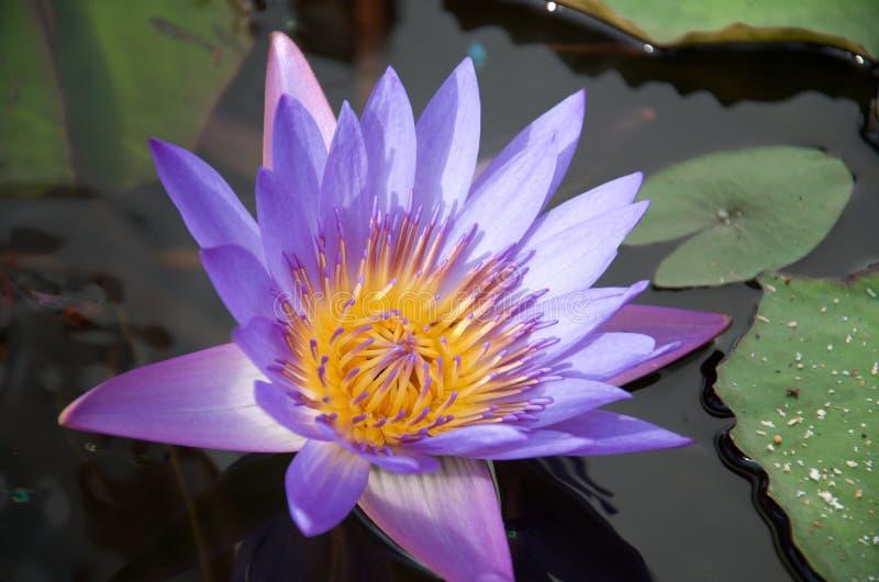 Primo piano del loto giallo-medio viola della nymphaea fotografia stock