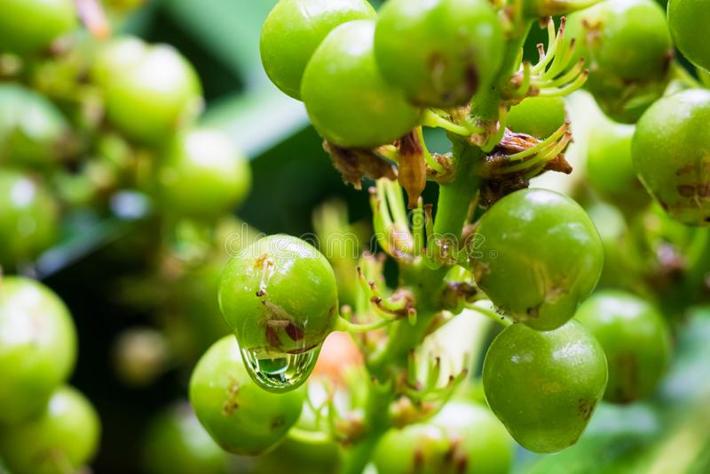 Primo piano del loureiri verde Gagnep & x28 della dracaena; agavaceae& x29; frutta con la goccia di pioggia Albero di drago fotografie stock