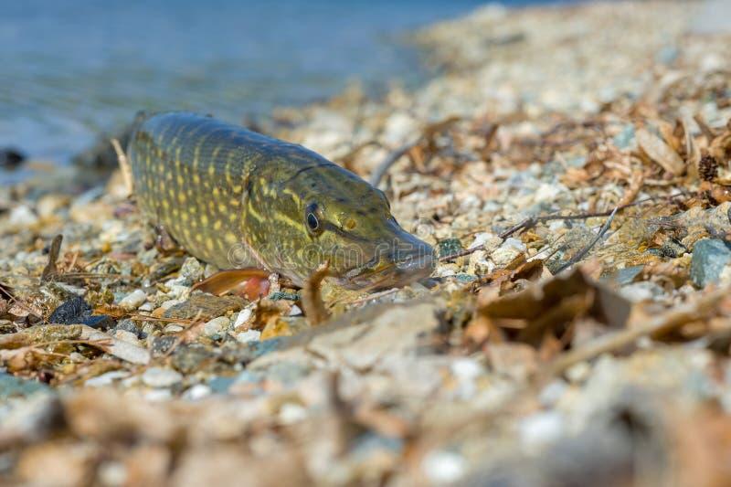 Primo piano del luccio sul lago Priorit? bassa della sorgente Strumentazione di pesca Fondo di pesca fotografia stock