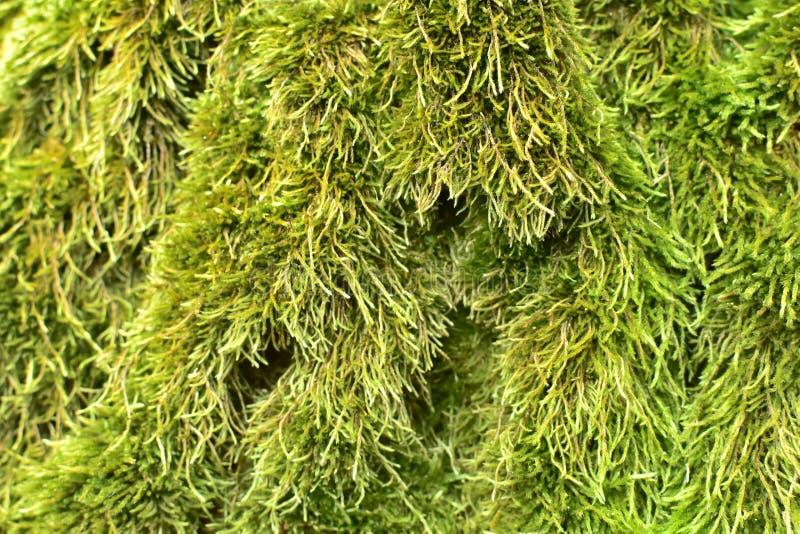 Primo piano del muschio fresco naturale verde sulle radici del pino nella foresta fotografie stock