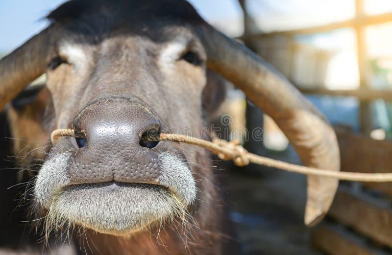Primo piano del naso del bufalo fotografie stock libere da diritti