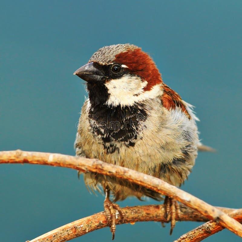 Primo piano del passero maschio fotografia stock