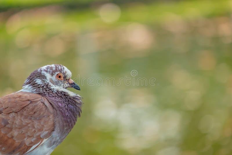 Primo piano del piccione che corruga il suo collo immagine stock