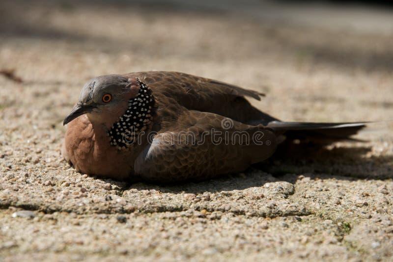 Primo piano del piccione chiazzato su terra sabbiosa fotografie stock