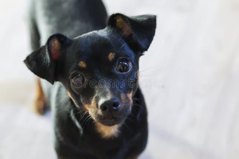 Primo piano del piccolo e cane nero fotografie stock