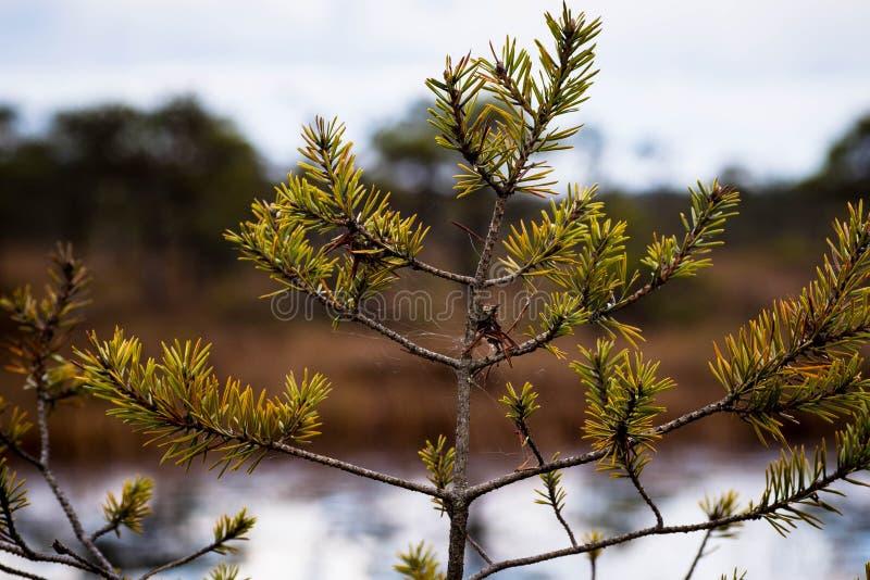 Primo piano del pino dalla palude fotografia stock